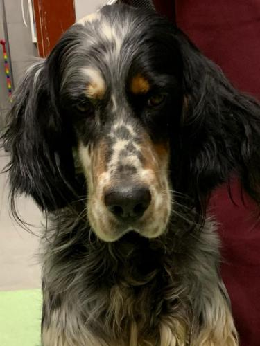 Terry English Setter
